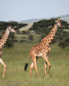 Giraffes are All Over the Place in Tanzania!