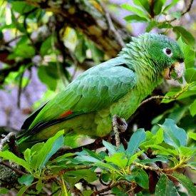 An-amazon-parrot