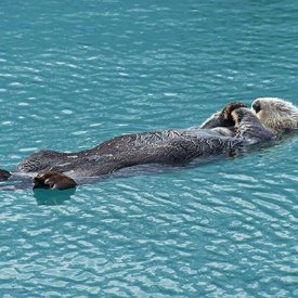 "A sea otter ""meditating"" in Kenai Fjords National Park."