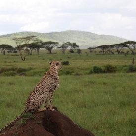 A cheetah surveys the surroundings in the Serengeti
