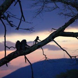 Baboons in Serengeti National Park