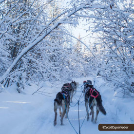 Taking a Dogsled Ride Through the Forest