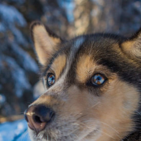 Meet Huskies and Take a Sled Ride Through the Forest
