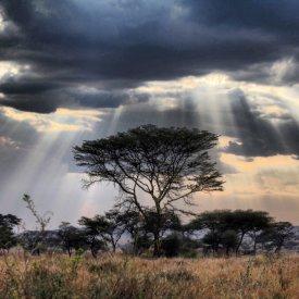 Acacia Tree in Serengeti National Park