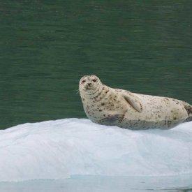 A Harbor Seal in Alaska
