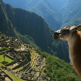 Alpaca Overlooking the Ruins