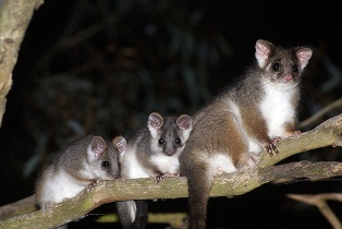ring tail possums in tree