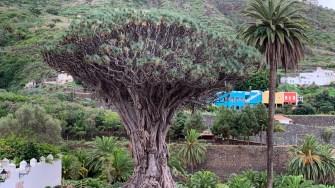 copacul Dragonului Milenar, Tenerife, Spania. FOTO Adrian Boioglu