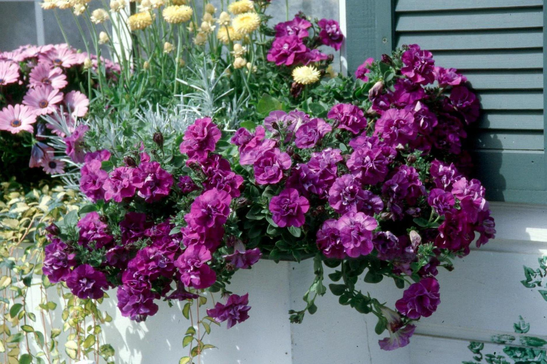 Best Beautiful Cascading Flowers For Window Boxes Ideas 17