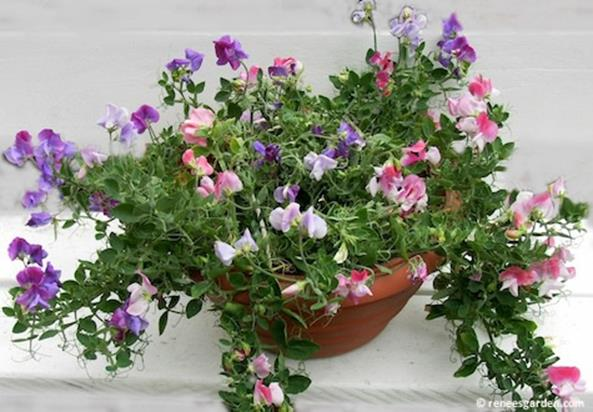 Best Beautiful Cascading Flowers For Window Boxes Ideas 7