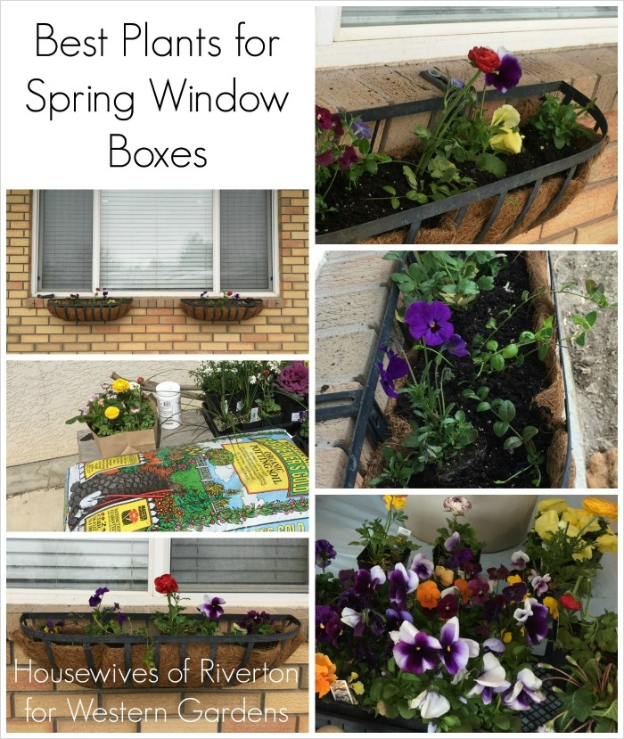 42 Best Flowers for Window Boxes 35 Best Plants for Window Boxes Western Garden Centers 3