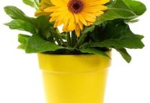 Gerbera Daisy Plants for Cleaner Indoor Air