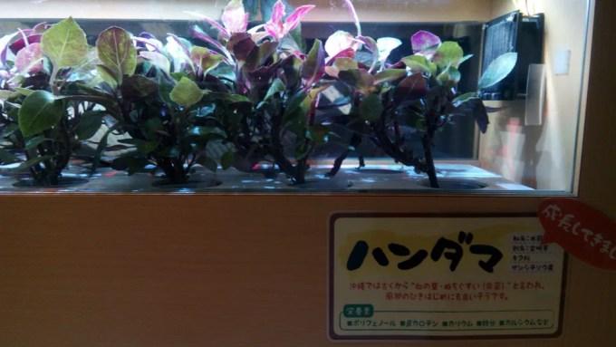 カラカラの店内で育てられている沖縄野菜