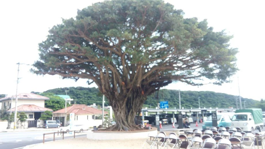 large gajumaru tree