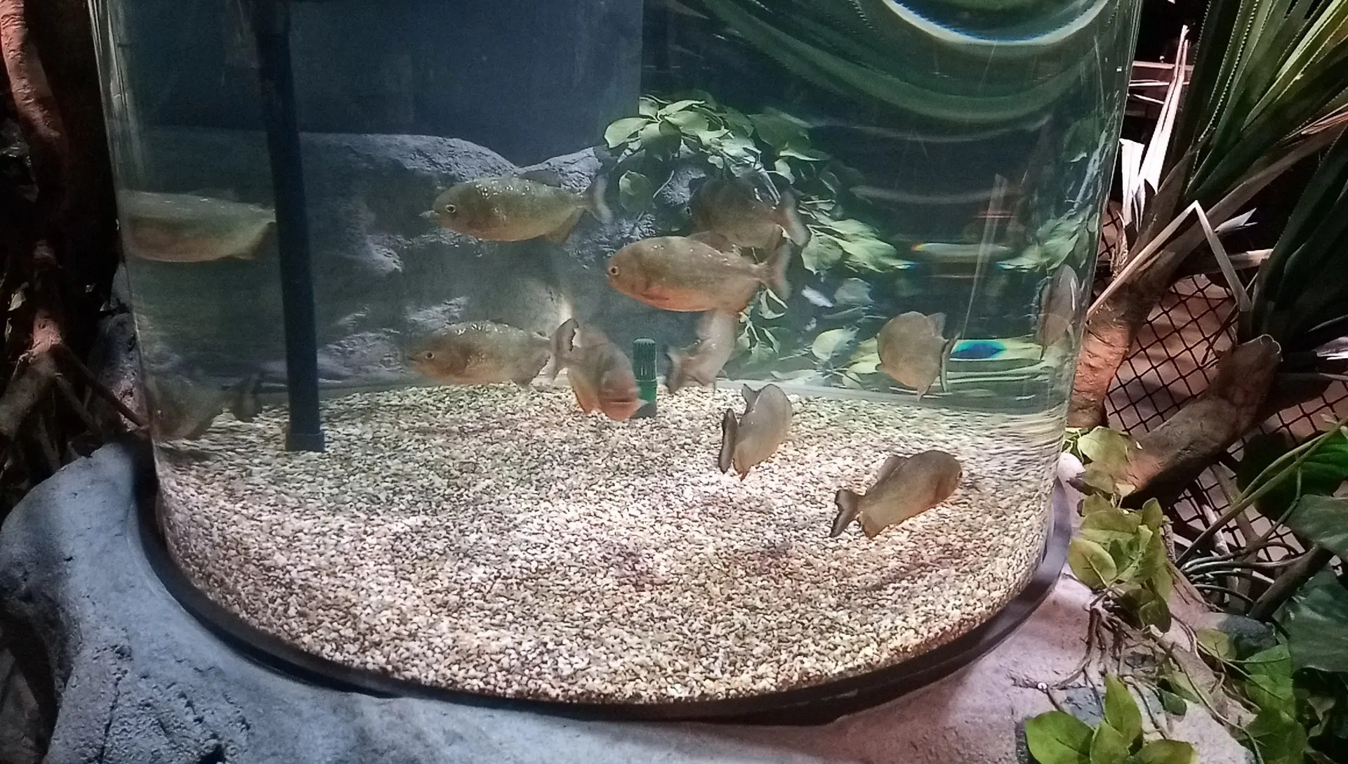 piranhas tank in the DMM Kariyushi Aquarium