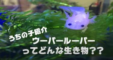 ☆家族共有動画「ウーパールーパー編」