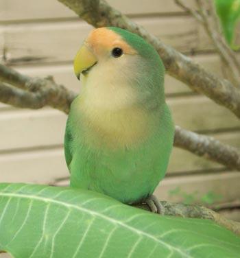 parrot behavior problems lovebirds