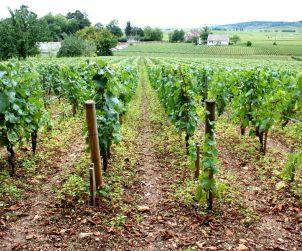 A Vineyard in Burguny
