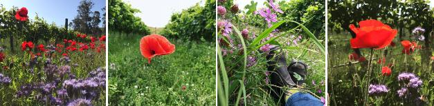 Cover crops at Loveblock