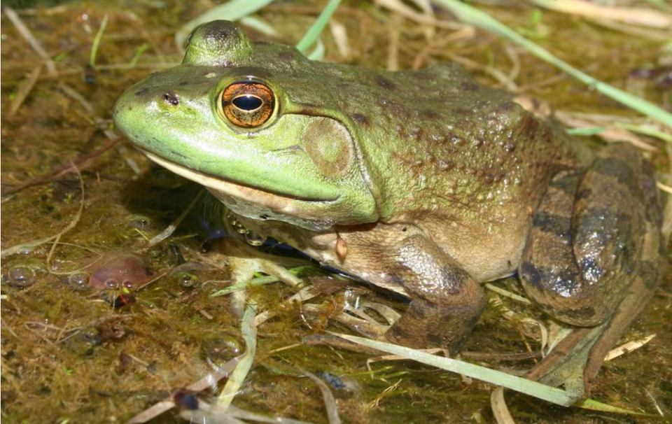 The two most common edible species one will find in Canada are the American Bullfrog (Lithobates catesbeianus) pictured above, and the Northern Leopard Frog (Lithobates pipiens) pictured at the top of this piece.