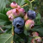 Blueberry Pickin' Time in Missouri