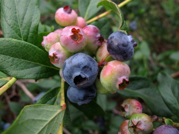 Blueberry Custer