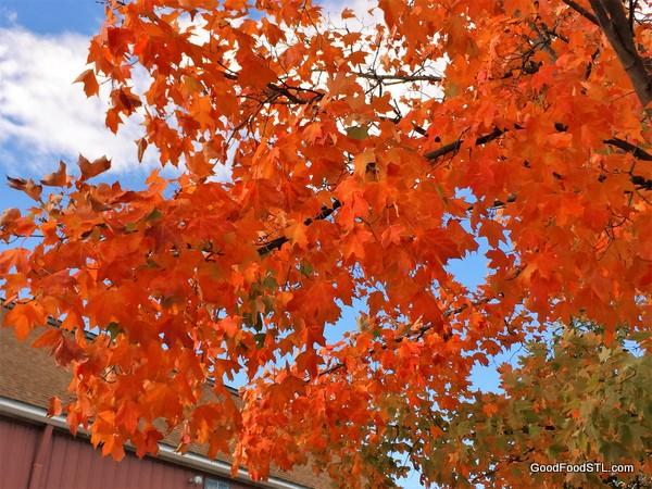 Kirkwood leaves