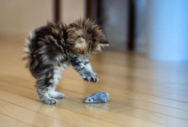 Cat playing with toy mouse image - Free stock photo - Public ...