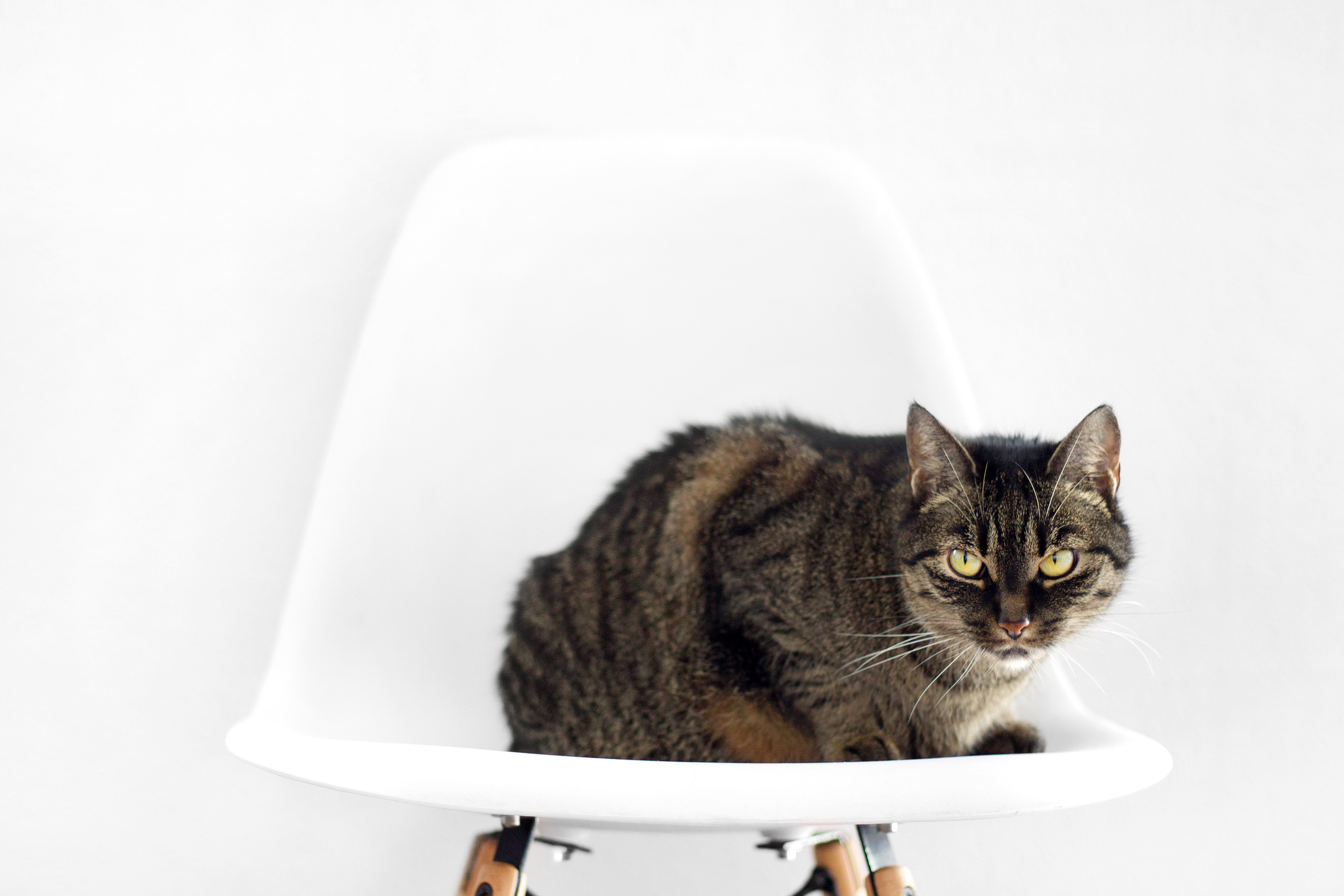 Cat sitting on chair image  Free stock photo  Public