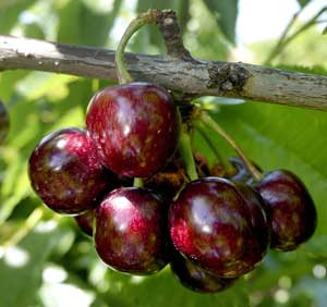 Good to Know: Cherry diversification | Good Fruit Grower