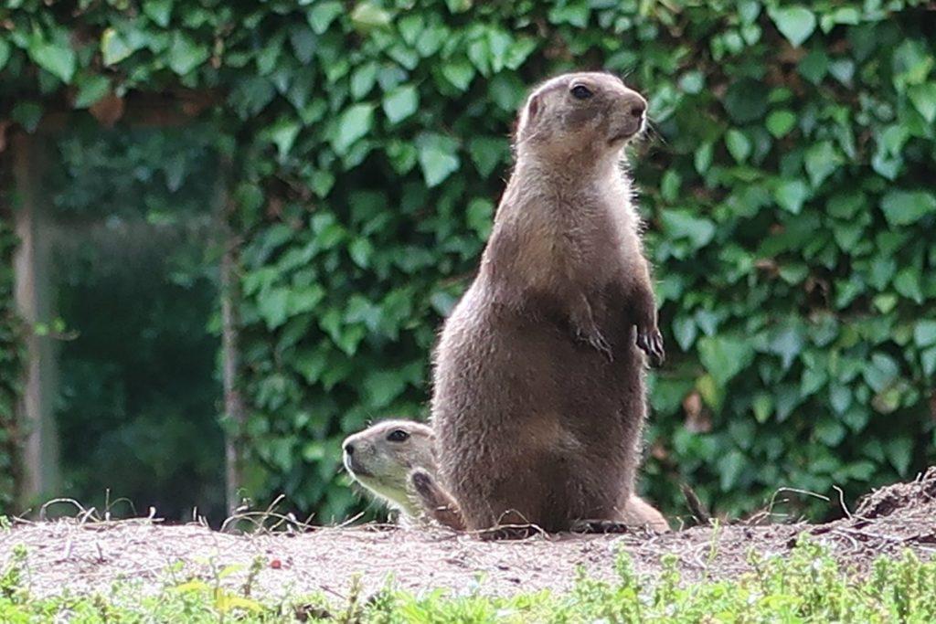 Tierpark-Nordhorn-prairiehond-GoodGirlsCompany