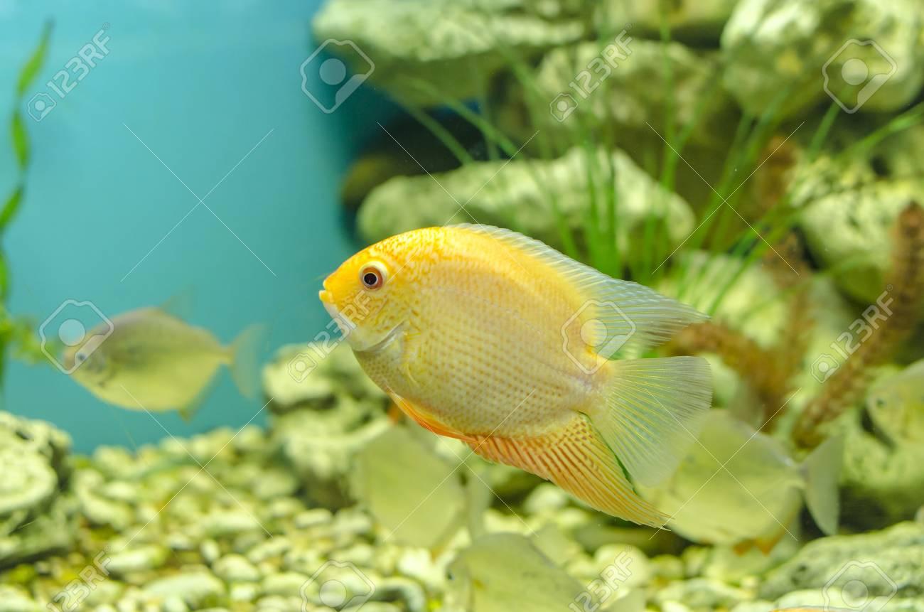 Gold Severum Cichlid Goodjoseph Live Fish Store