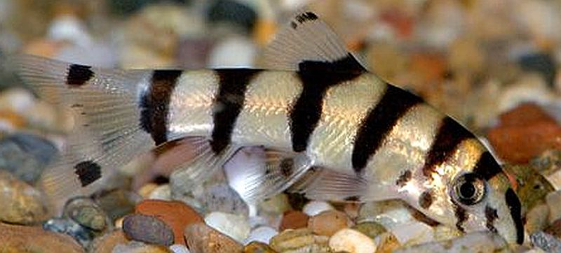 Loach Botia Golden Zebra Goodjoseph Live Fish Store