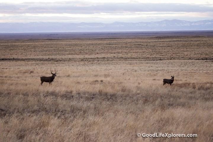 Colorado Deer