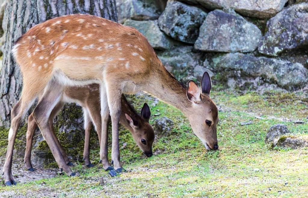Itsukushima, Deer, Shrine, Shinto, Temple, Buddhism, Japan, Miyajima, Island, Hiroshima, Nature, culture, travel, travelblog, vlog