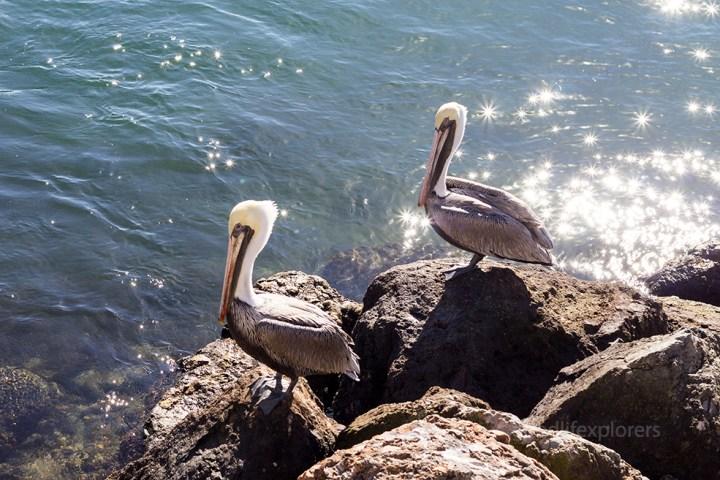 Marina del Rey Pelicans on Rock