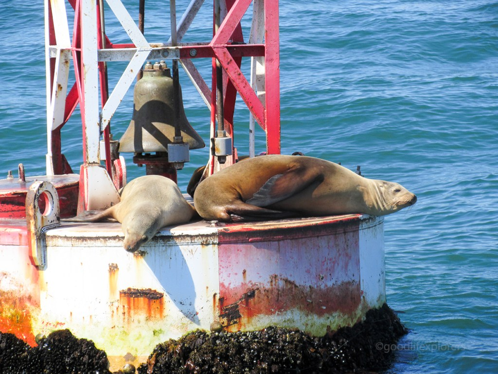 Sea lions and seals sunning in Southern California