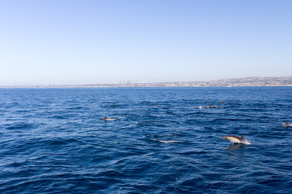 A large pod of common dolphins in Newport Beach, Socal