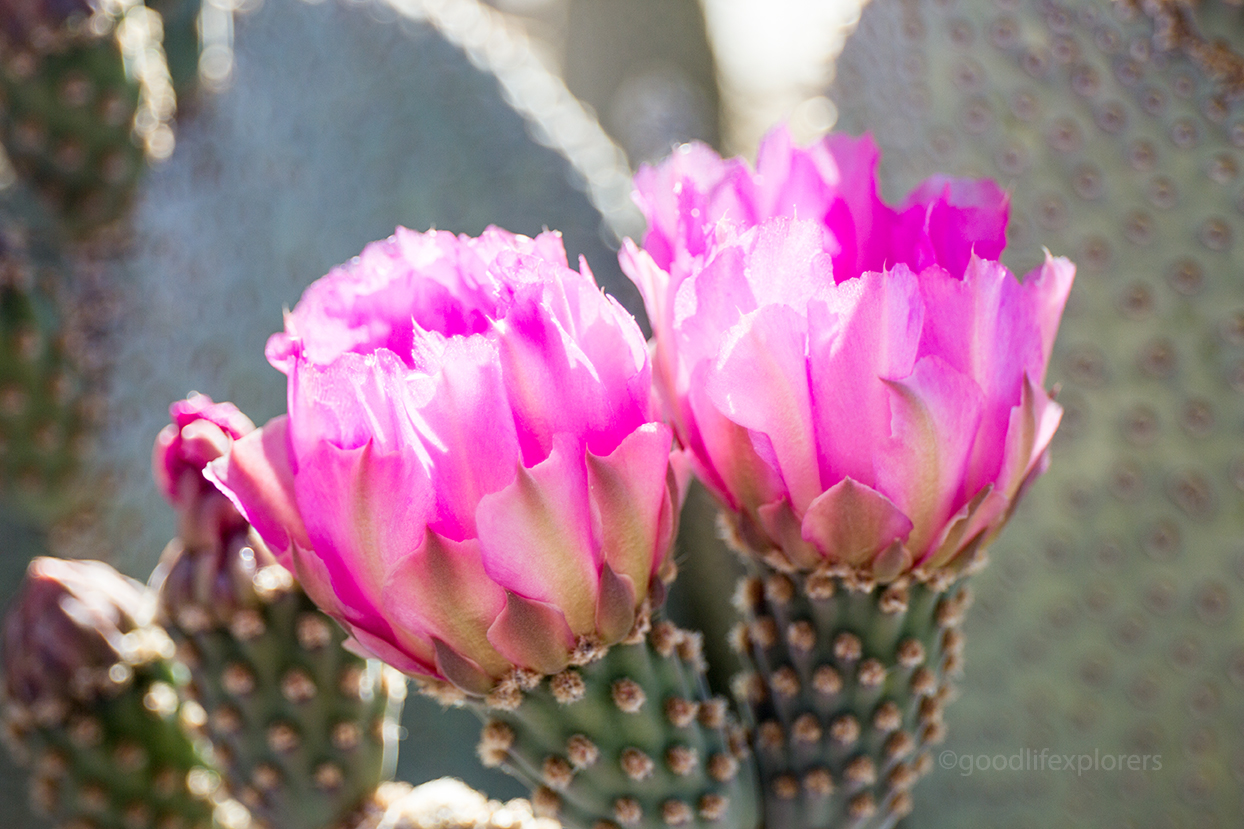 Beautiful pink flowers on cacti