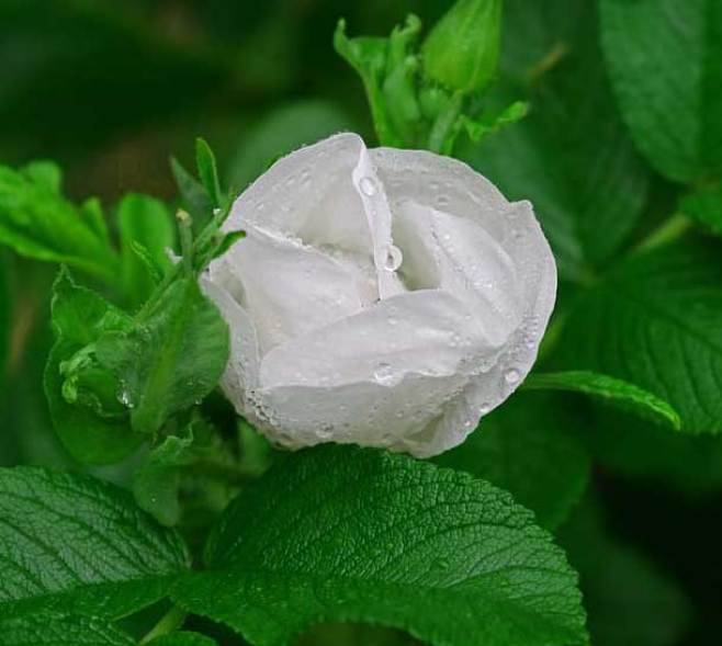 Best Flower For ProFile Images Pictures