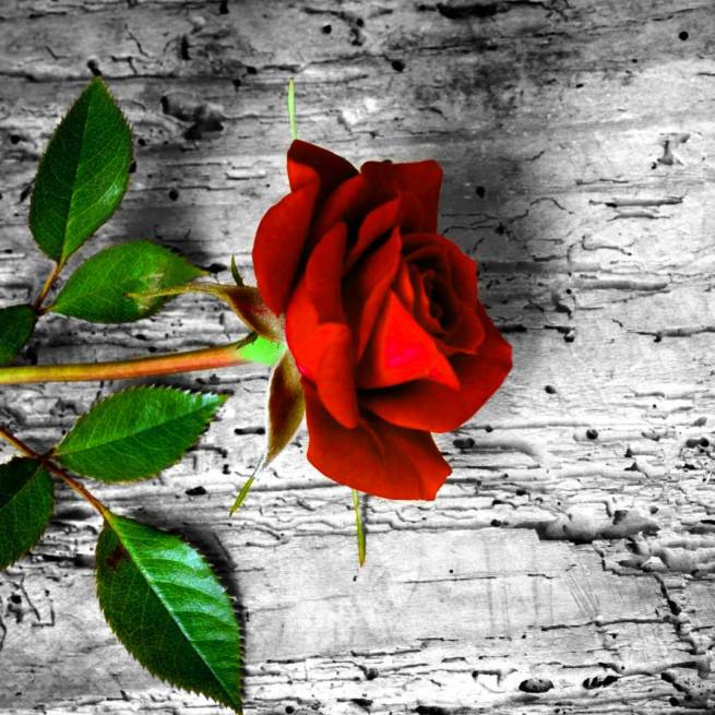 Latest Flower For ProFile Pics Free