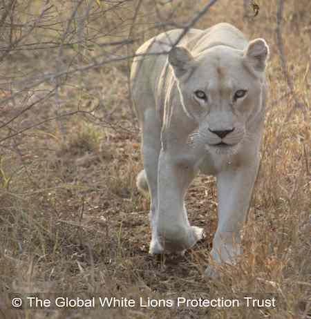 Zihra_White-lion-DotOrg