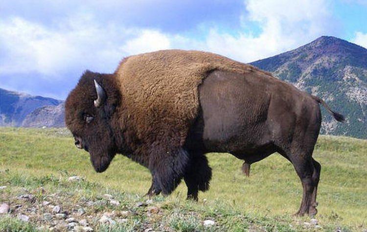 genetically pure bison found
