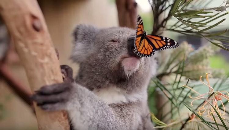 Cute Babies Pics Wallpaper Images Butterfly Befriends Koala In Best Video Photobomb Ever