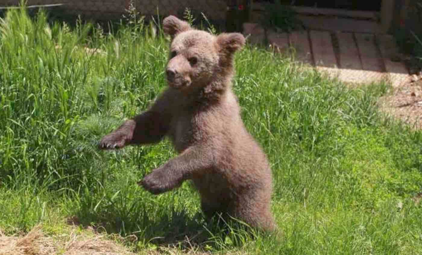 after bear cub was