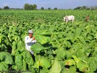 With farmers at the center, ULPI lights up tobacco sector