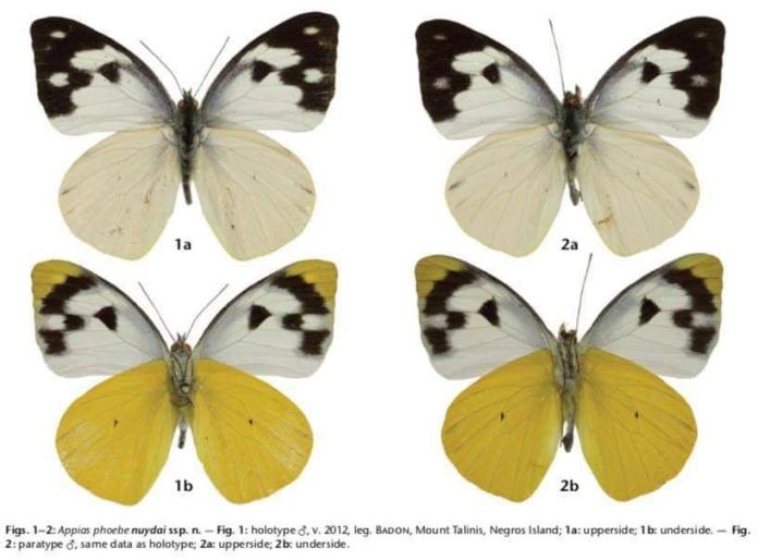 Jade Aster Badon Butterfly species