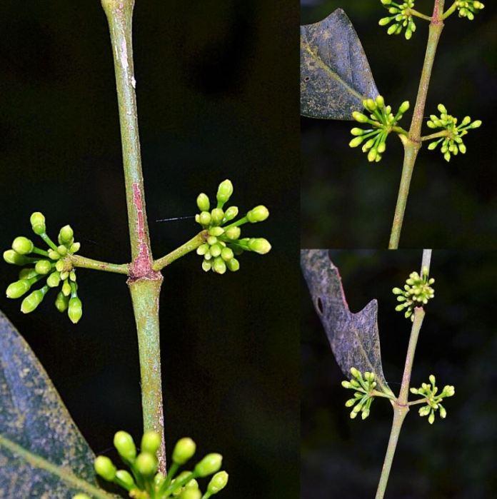 Mount Arayat's new plant species