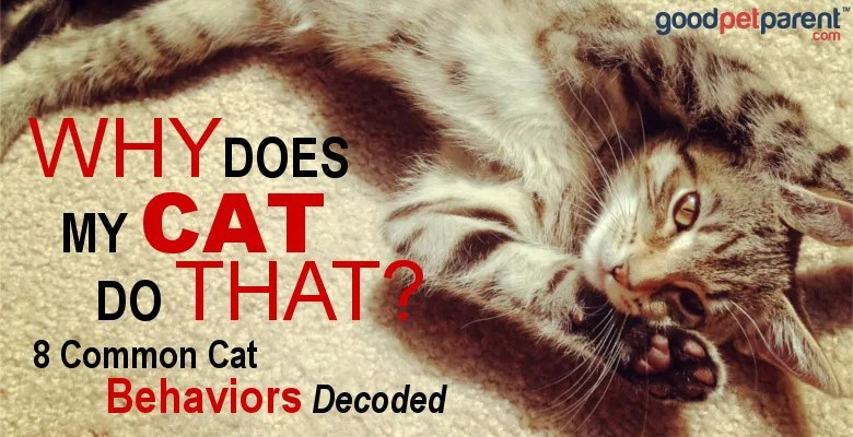 Good Pet Parent: Why Does My Cat Do That? 8 Common Cat Behaviors Decoded.