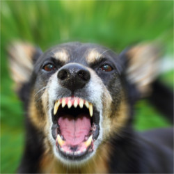 Why does my dog do that? - Barking enraged shepherd dog outdoors